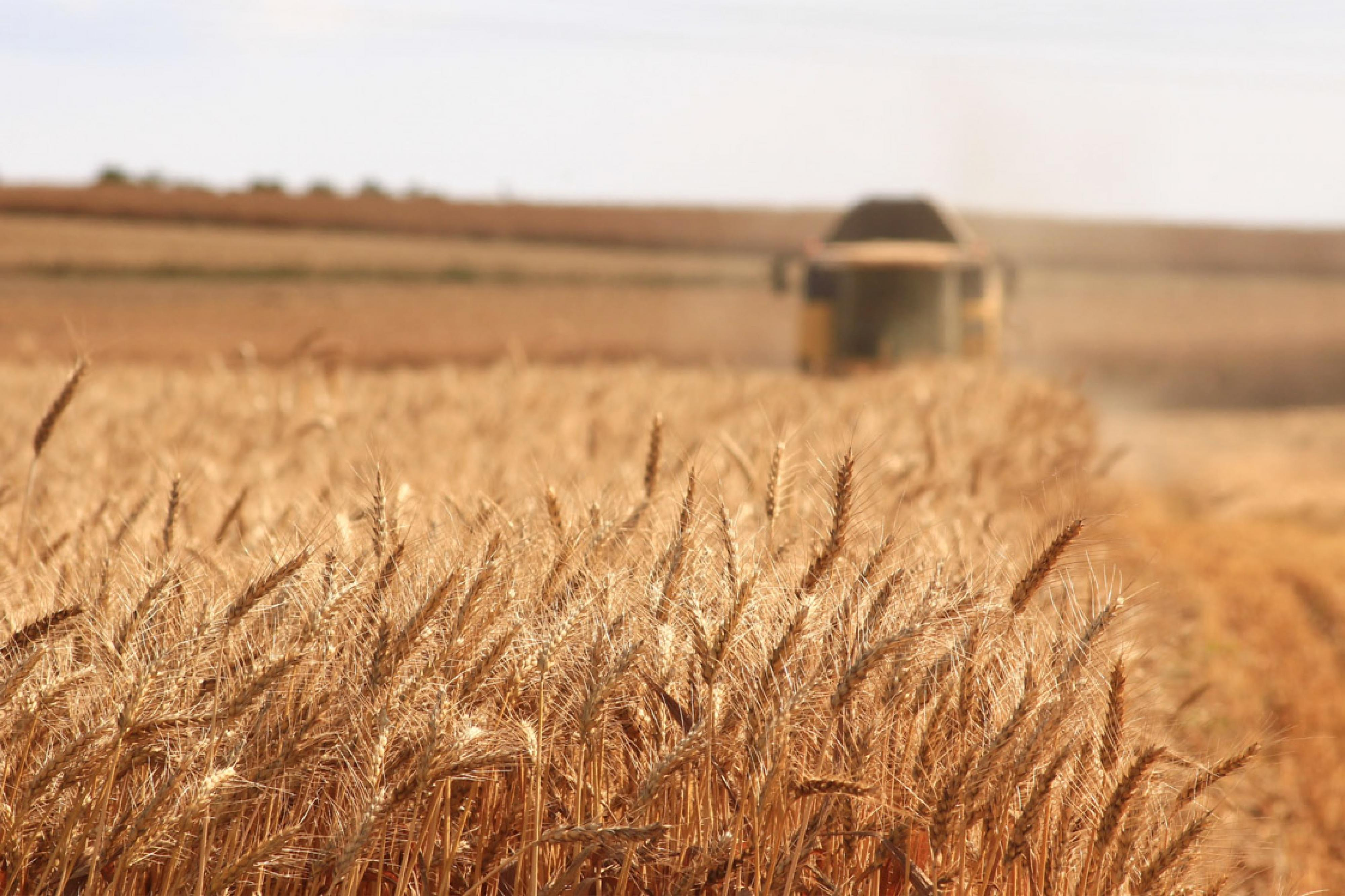 Tractor harvests wheat from field